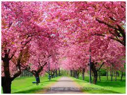 cherry blossom ave